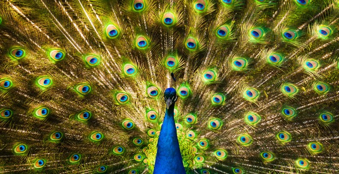 Peacock_in_Toronto